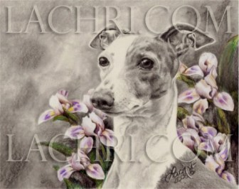 Italian Greyhound in graphite and colored pencil