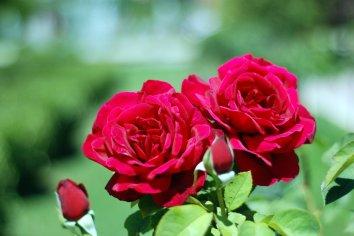 Generaciones de Rosas Rojas