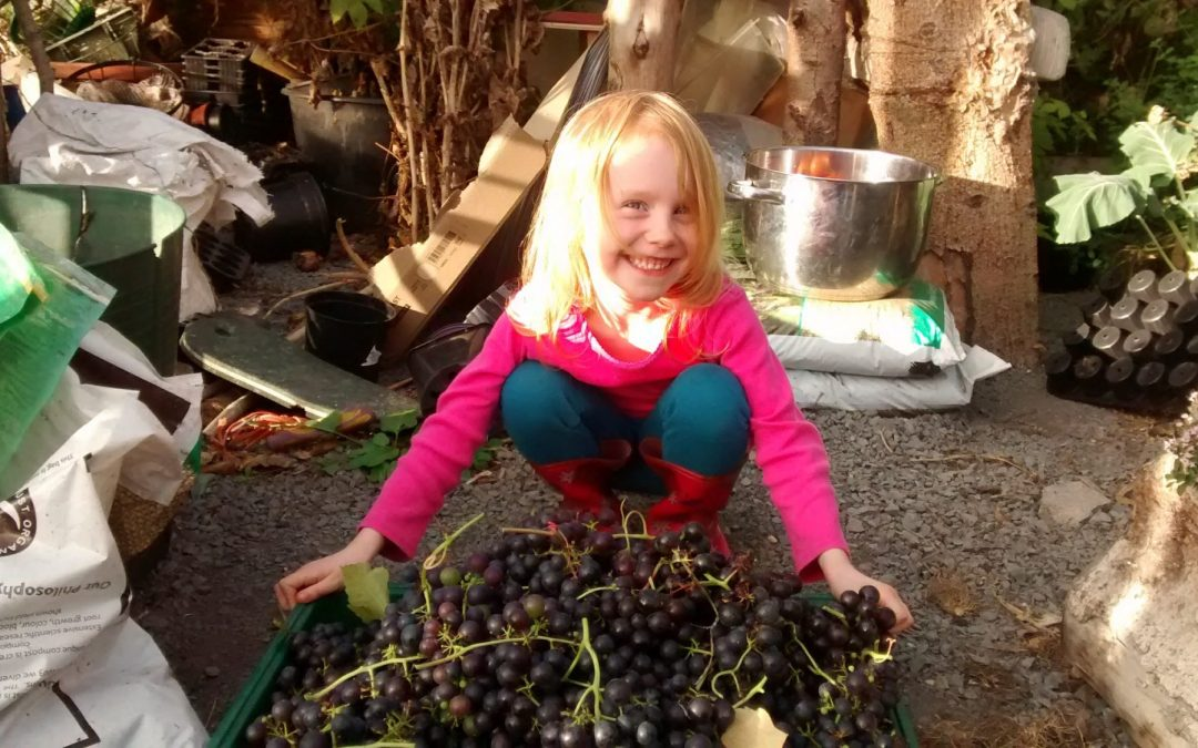 Our first grape harvest