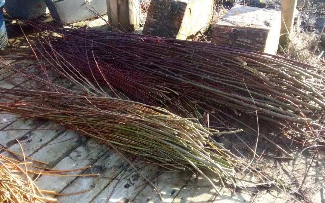 Our first willow harvest