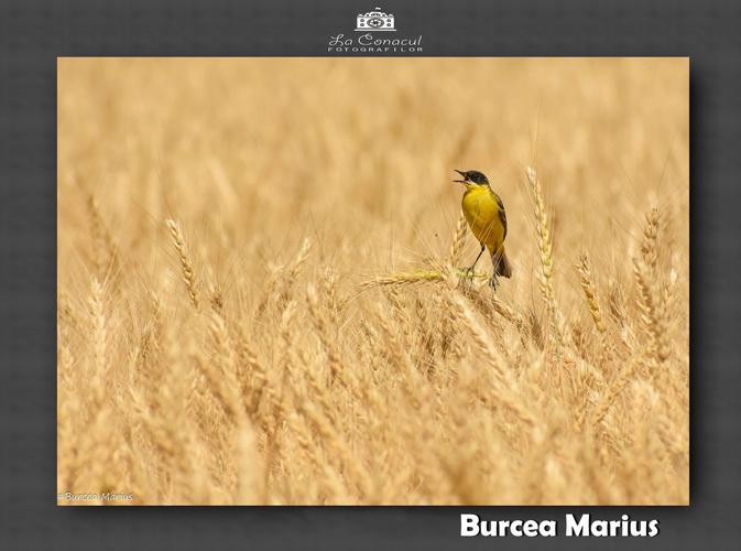 BURCEA MARIUS resize