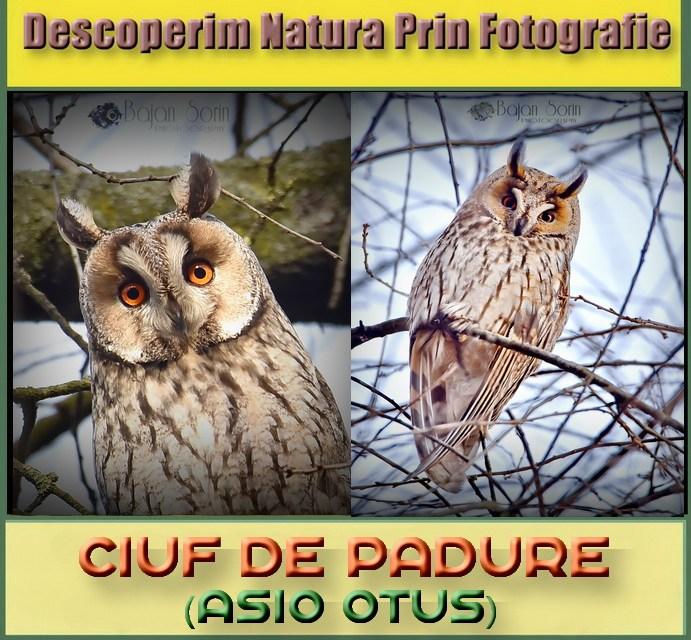 Descoperim Natura Prin Fotografie, astazi intalnim Ciuful de Padure!