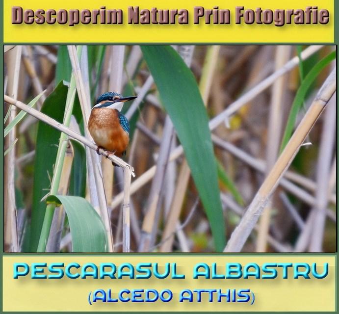 Descoperim natura prin fotografie, astazi intalnim Pescarelul Albastru!