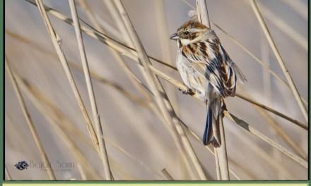 Descoperim Natura Prin Fotografie, astazi-intalnim Presura de Stuf!