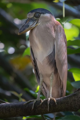 Boat billed heron Belem Brazilia Cezar Gabriel