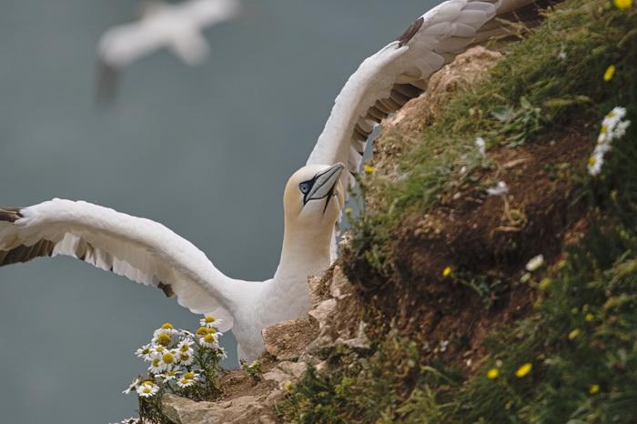 Corb de mare Anglia Tibi Nica resize
