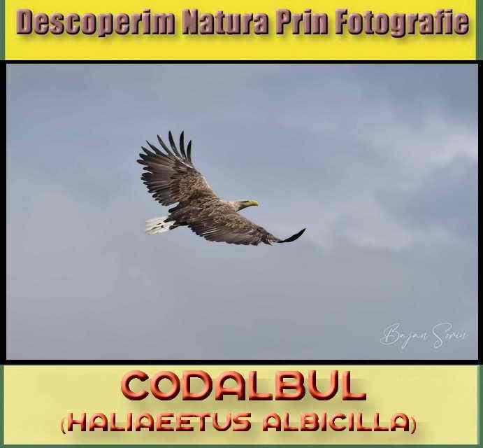 Descoperim natura prin fotografie, astazi intalnim Codalbul!