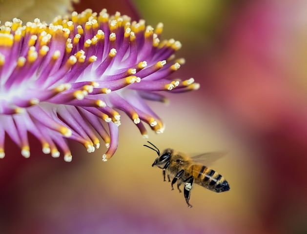 honeybee, honeybee on flower, purple flower, bee