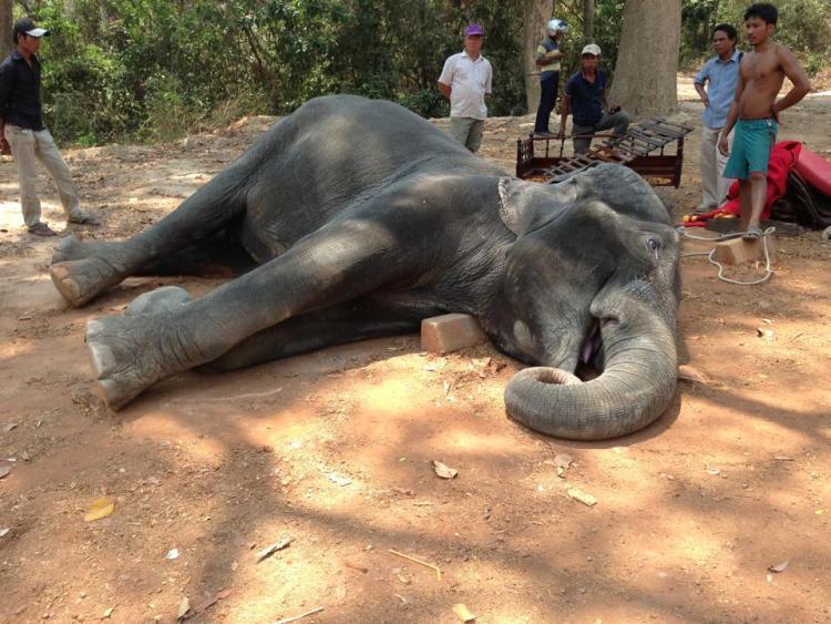 sambo l'elephante morte