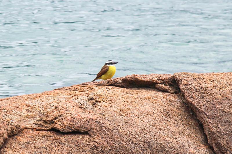 ilha grande oiseau jaune