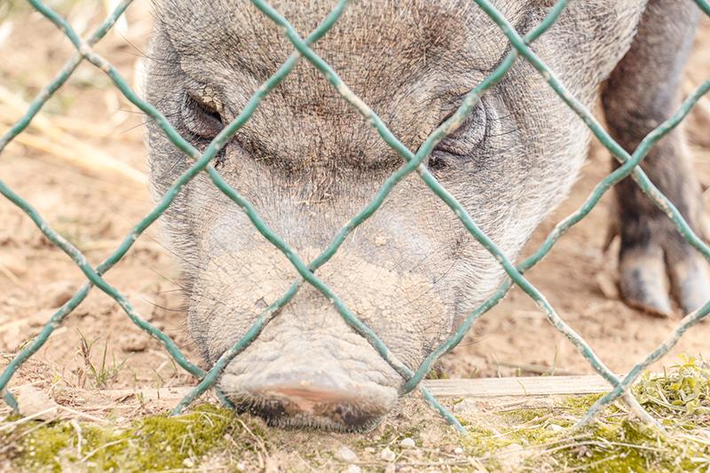 cochon-sauvage