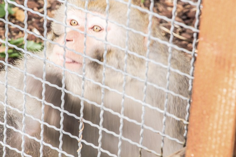 sauvetage-singe-laboratoire-taniere-zoo-refuge