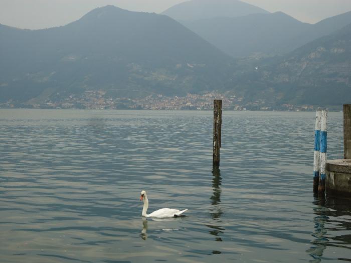 Cisne en el lago Iseo