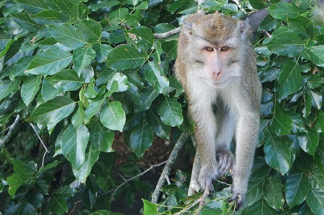 Mono de Mauricio