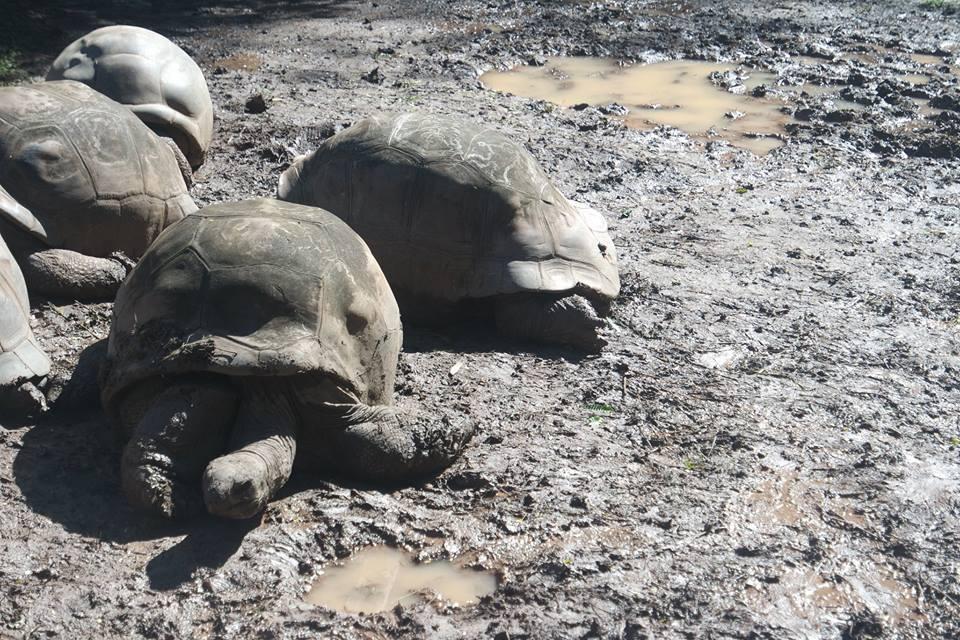 Tortugas de tierra de Chamarel