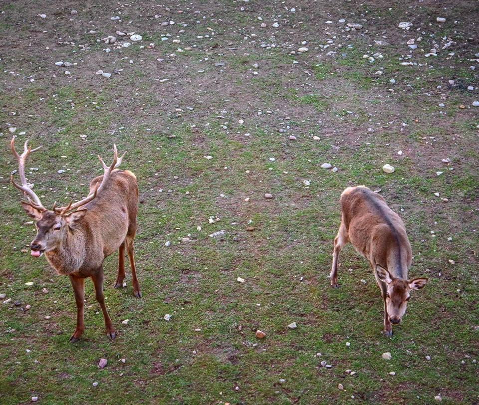 Ciervos de la Ciudadela, Jaca