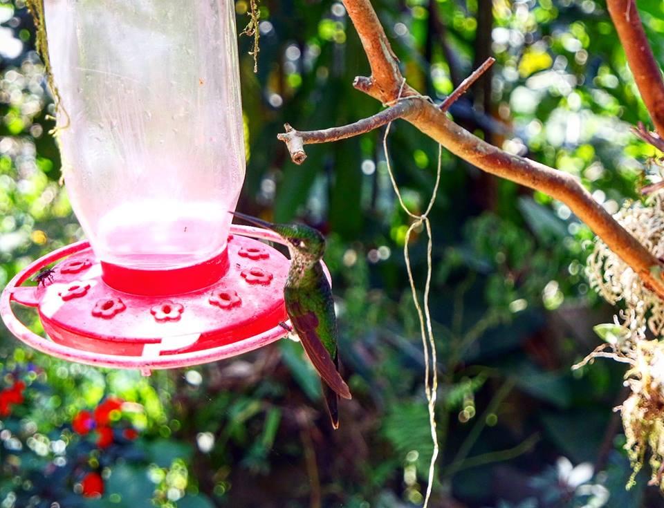 Colibrí, avistamiento de aves en Cali