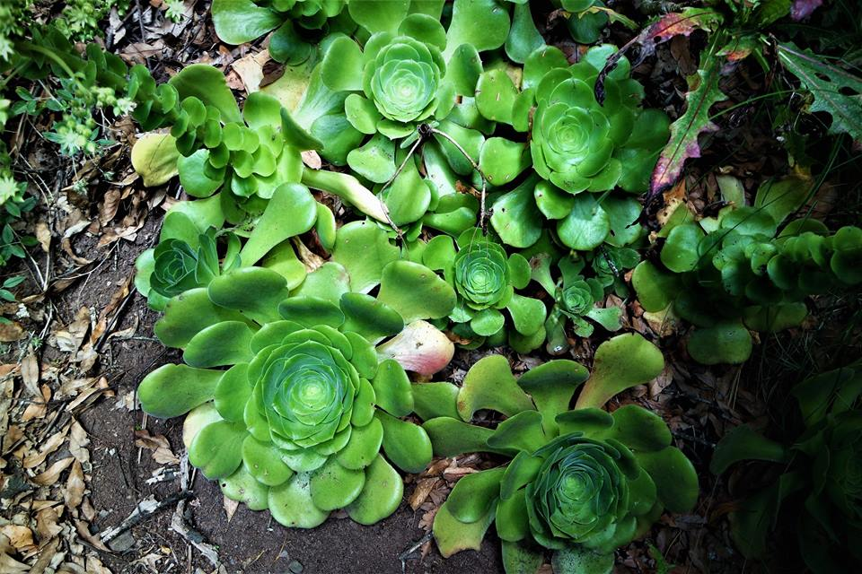 La Gomereta, flora de Anaga