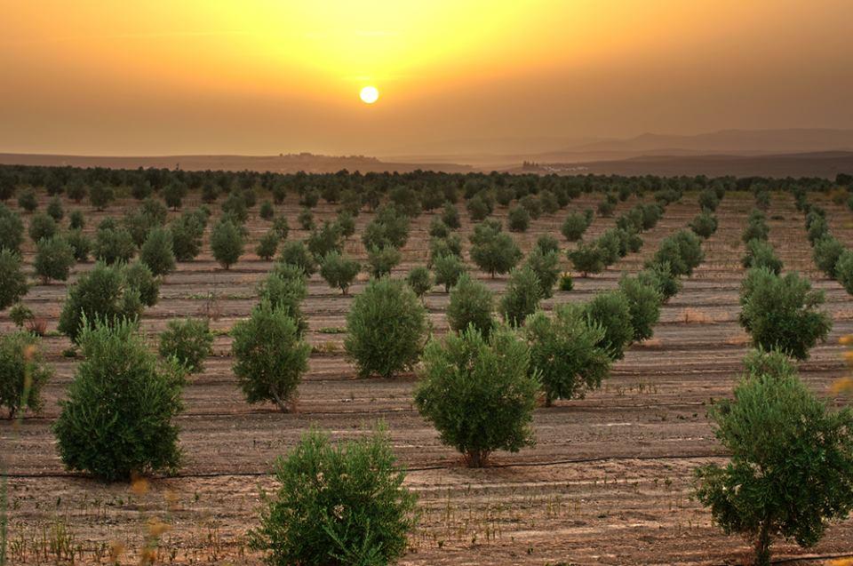 Campos de olivos. Los pueblos más bonitos de Jaén