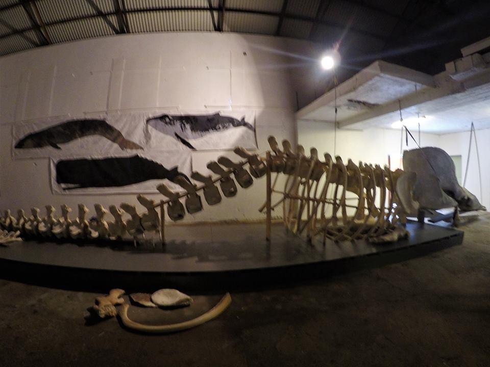 Esqueleto de un cachalote, museo de Cetáceos