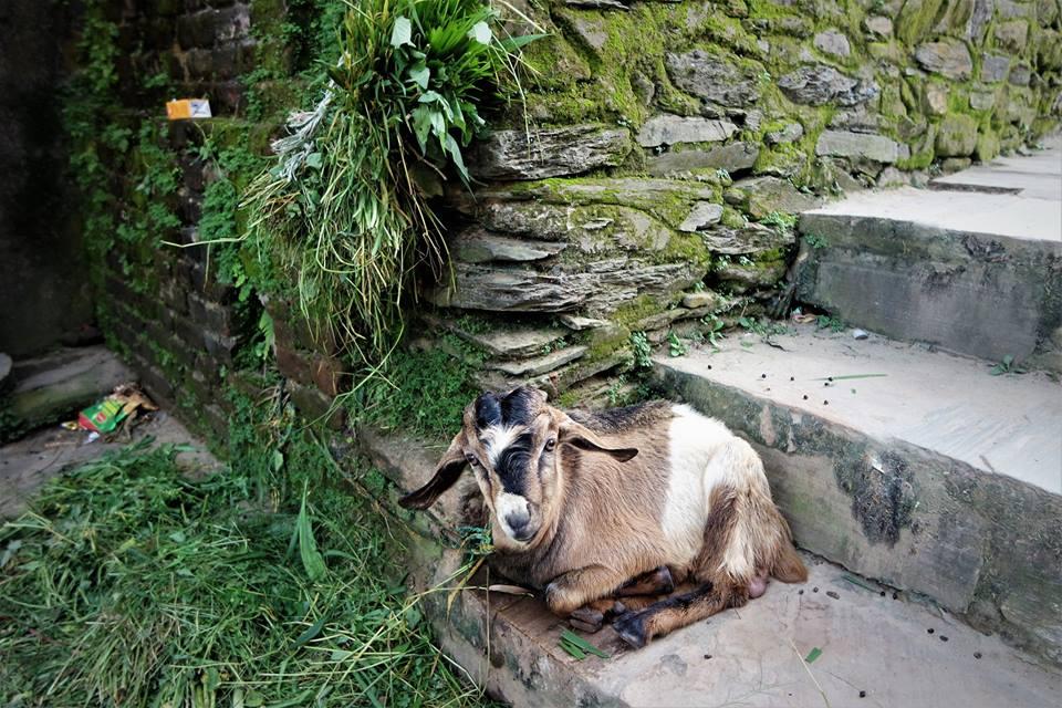 Cabra en Bandipur