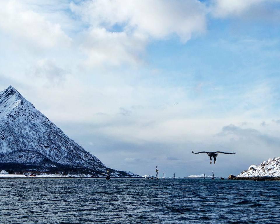 Águilas Marinas en Lofoten