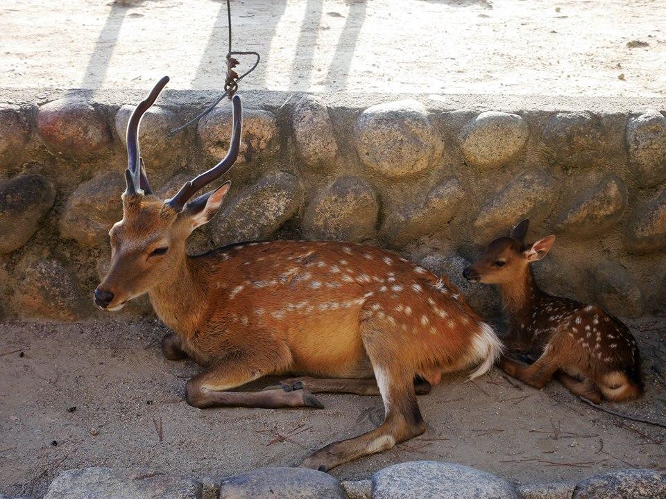 Ciervos de Miyajima