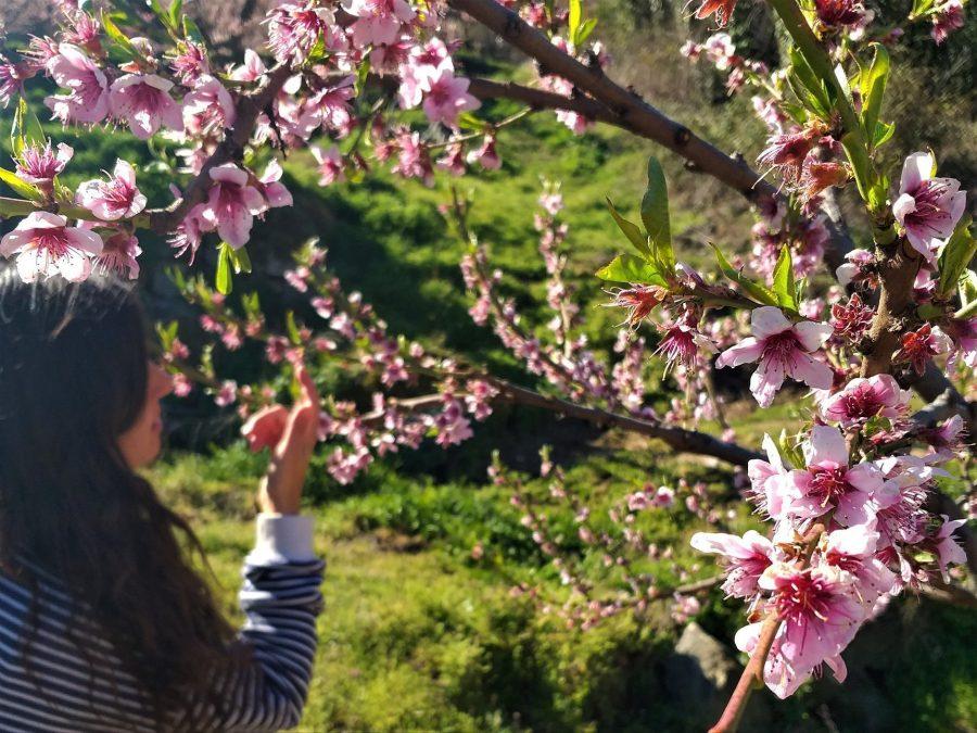 Melocotoneros en flor