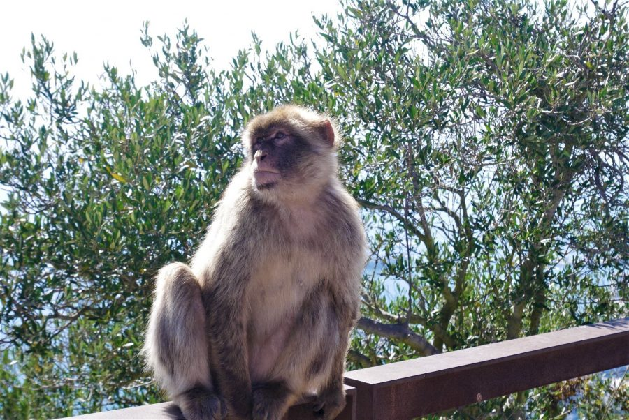 Mono de Berbería, qué visitar en Gibraltar