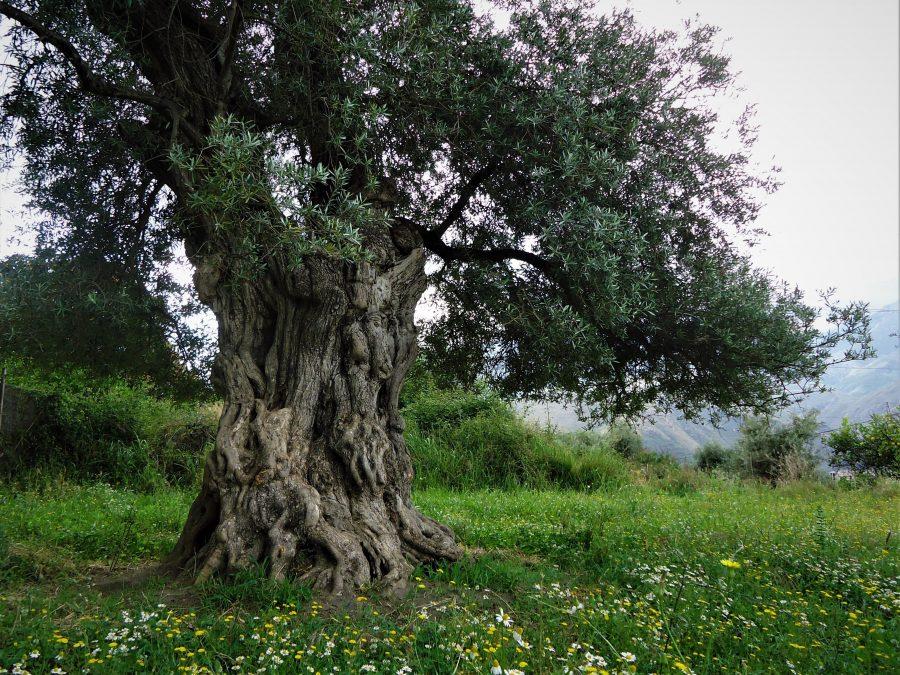 Ruta de los olivos centenarios en Órgiva