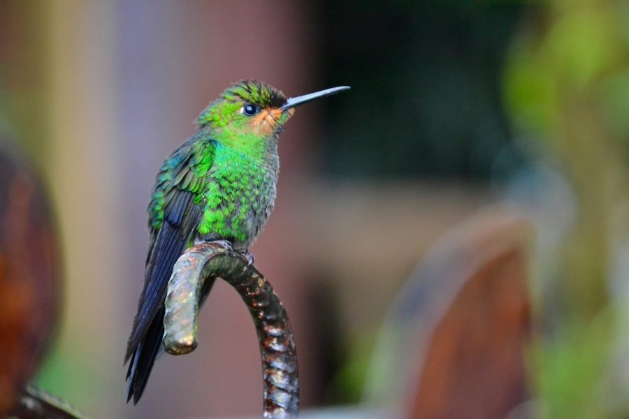 Colibrí, fauna de Costa Rica
