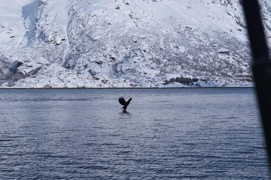 Águila pescadora en las islas Lofoten