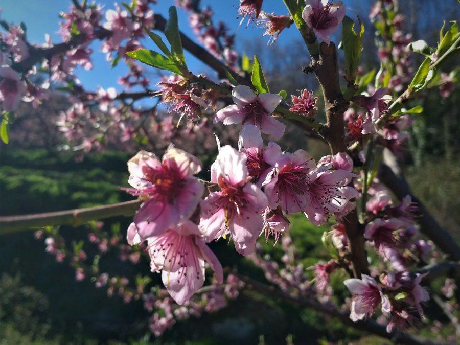 Melocotoneros en flor, qué hacer en Navaluenga