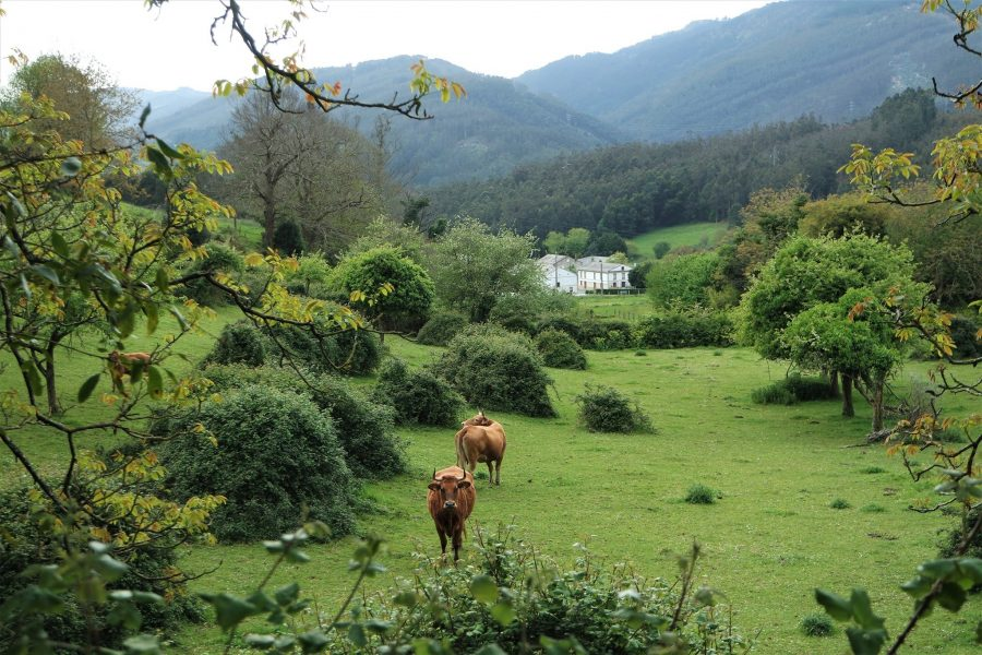 Vacas en la Mariña Lucense