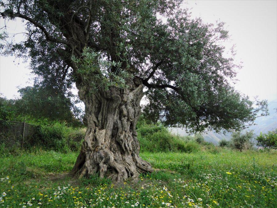 Olivos centenarios en Órgiva