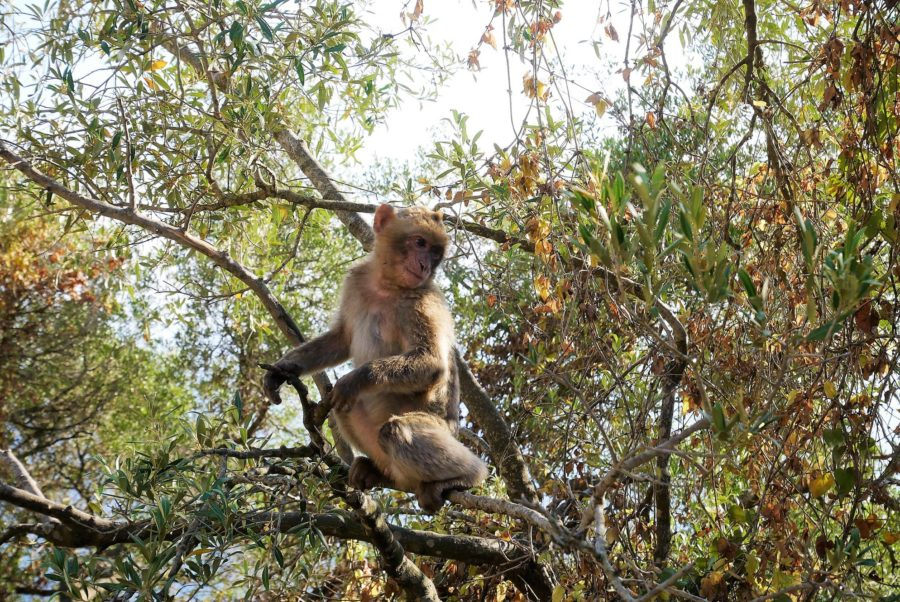 Monos en el bosque de Gibraltar