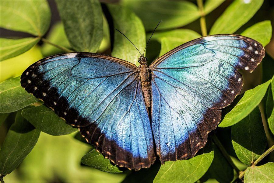 Mariposa Azul en Costa Rica