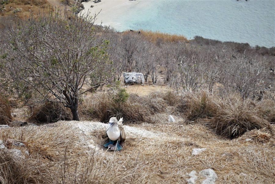 Pájaro Bobo de patas azules en isla Isabel, México