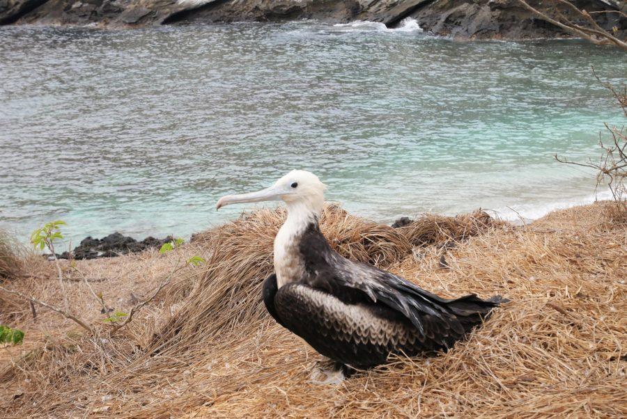 Fragata bebé, isla Isabel,