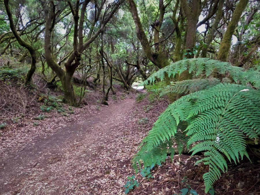 La Llanía, bosque de laurisilva de El Hierro
