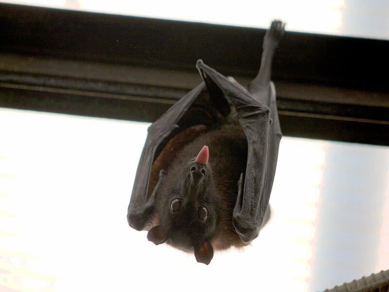 soñar con murciélago