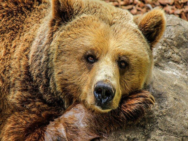 soñar con oso