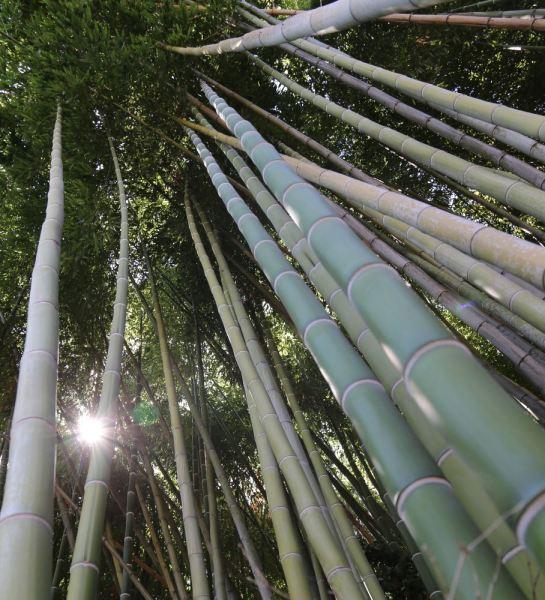 Huntington bamboo forest