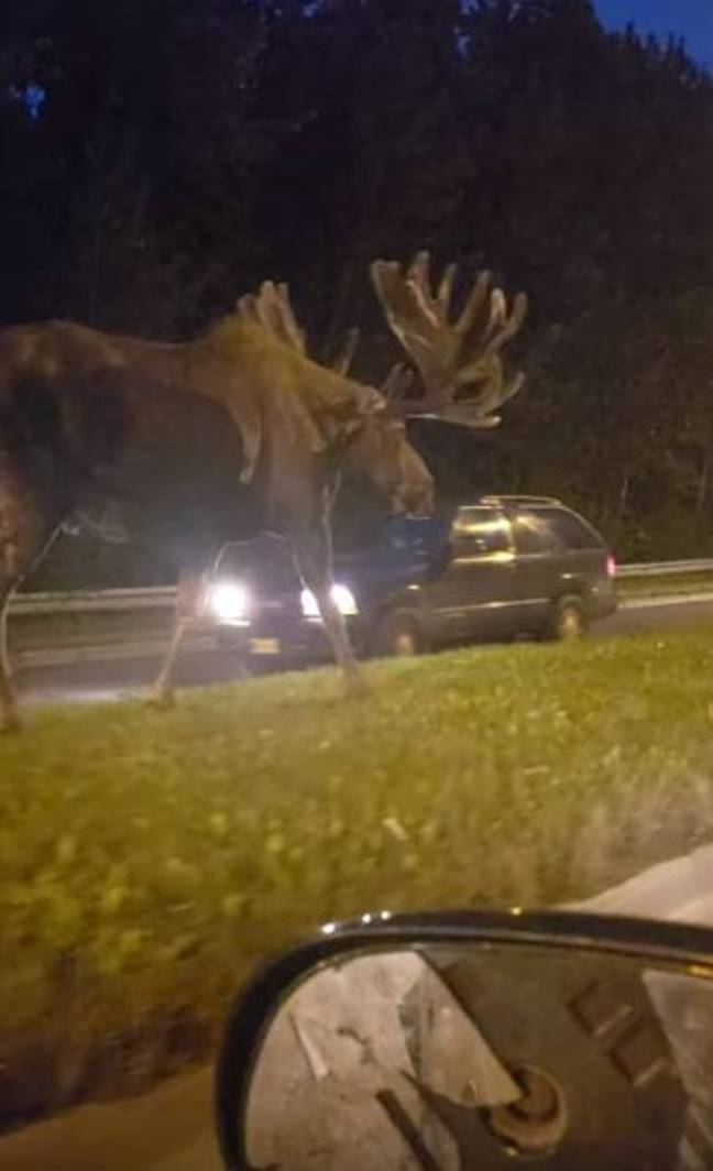 Moose Next To Car : moose, Giant, Moose, Caught, Casually, Strolling, Along, Middle, Highway, LADbible