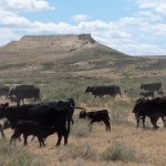 Cows:  from desert to mountain