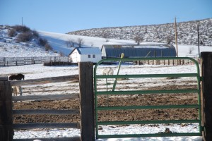 white horse and gate