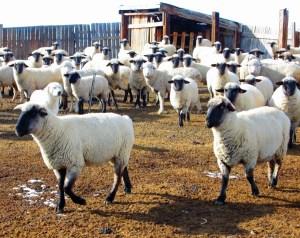 pregnant ewes at Powder Flat