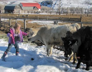 Siobhan with Salt and Pepper (Sal y Pimiento), her 4-H steers