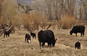 Cows with black baldie calves