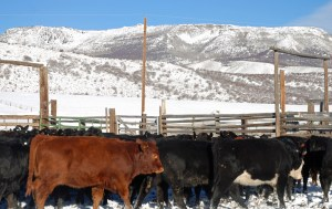 heifers in need of bog boots